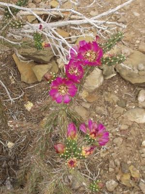 Blooming Cholla Cactus