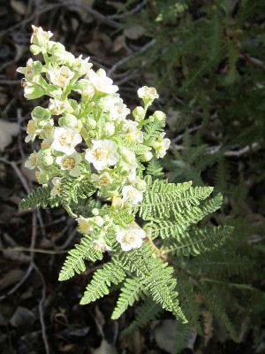 Fernbush blooming