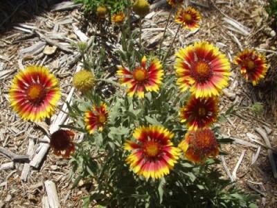 Gaillardia Aristata - Firewheel - Blanket Flower