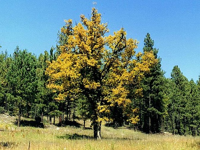 Gambel Oak in the Gila Wilderness