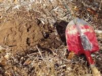 Hazelnut seedlings - ready to plant