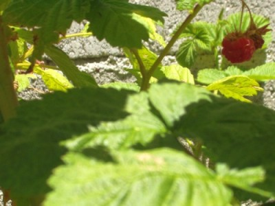 Raspberry - Rubus idaeus