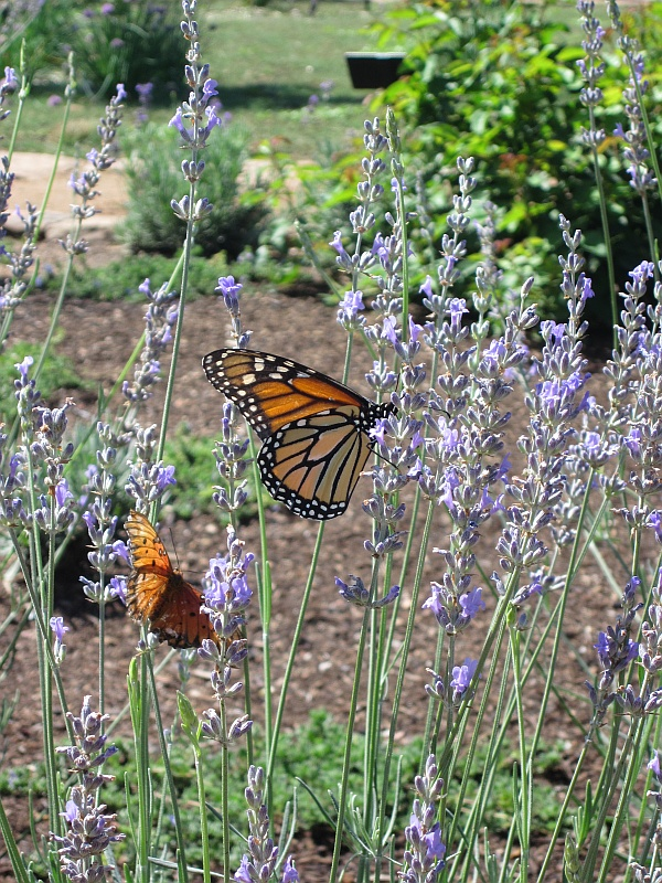 Monarch Butterflies at the Museum Hill Botanical Garden