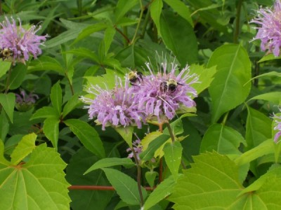 Owen Conservation Park, Madison, WI - Bumble Bees