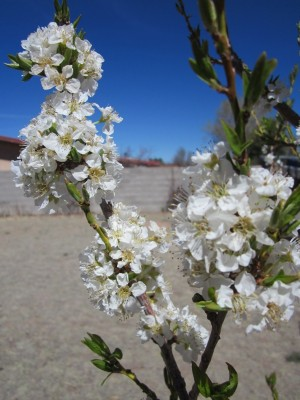 Santa Rosa Plum Tree in Bloom