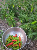 Shishito Chile Peppers
