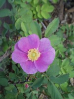 Woods' Rose in bloom